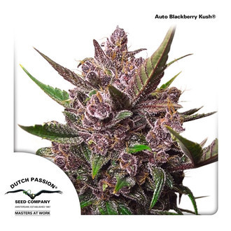 Auto Blackberry Kush (Dutch Passion) feminized