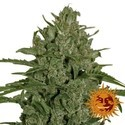 Triple Cheese (Barney's Farm) feminized