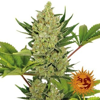 Blue Cheese Auto (Barney's Farm) feminisiert