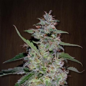 China Yunnan (ACE Seeds) feminized