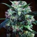 Kali China (ACE Seeds) feminized