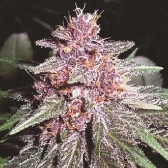 Violeta (ACE Seeds) feminized