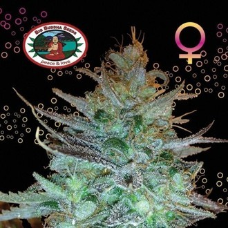 Sour Chiesel (Big Buddha Seeds) feminisiert