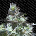 Original White Widow (Paradise Seeds) feminisiert