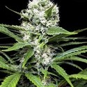 Lemon Ice (Ripper Seeds) feminized
