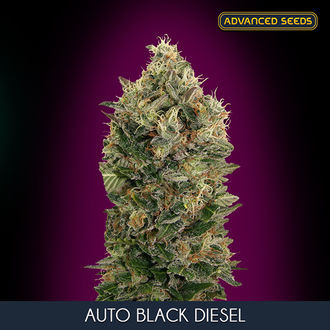 Auto Black Diesel (Advanced Seeds) feminisiert
