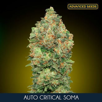 Auto Critical Soma (Advanced Seeds) feminisiert