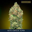 Auto Critical Soma (Advanced Seeds) feminisiert