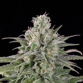 UK Cheese Auto (Humboldt Seeds) feminisiert