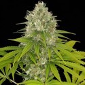 Power Kush (Dinafem) feminized