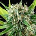 Royale Haze (Dinafem) feminized
