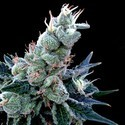 Double Alien 18 (Grow Your Own Collection) feminized