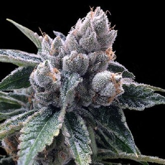 White Walker Kush (Grow Your Own Collection) feminisiert