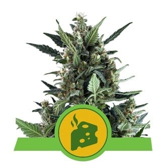 Blue Cheese Automatic (Royal Queen Seeds) feminisiert