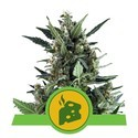 Blue Cheese Automatic (Royal Queen Seeds) femminizzata