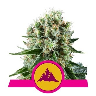 Critical Kush (Royal Queen Seeds) feminized