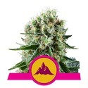 Critical Kush (Royal Queen Seeds) feminisiert