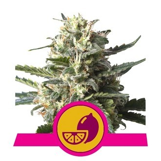 Lemon Shining Silver Haze (Royal Queen Seeds) feminisiert