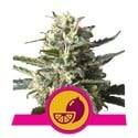 Lemon Shining Silver Haze (Royal Queen Seeds) femminizzata