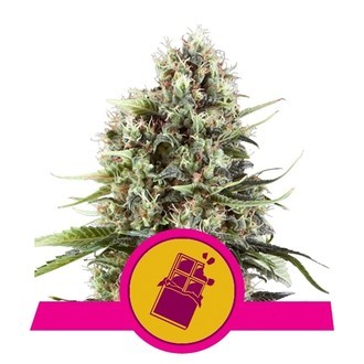 Chocolate Haze (Royal Queen Seeds) feminisiert