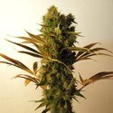 Hammershark (Resin Seeds) feminisiert
