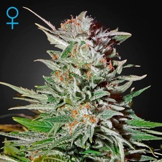 Super Lemon Haze Autoflowering (Greenhouse Seeds) feminized