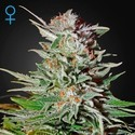Super Lemon Haze Autoflowering (Greenhouse Seeds) feminisiert