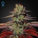 King's Kush Autoflowering (Greenhouse Seeds) feminisiert