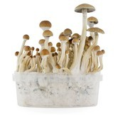 Fresh Mushrooms Grow Kit 'B+'