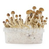 Fresh Mushrooms Grow Kit 'McKennaii'