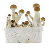 Kit per la Coltivazione Fresh Mushrooms 'Golden Teacher'