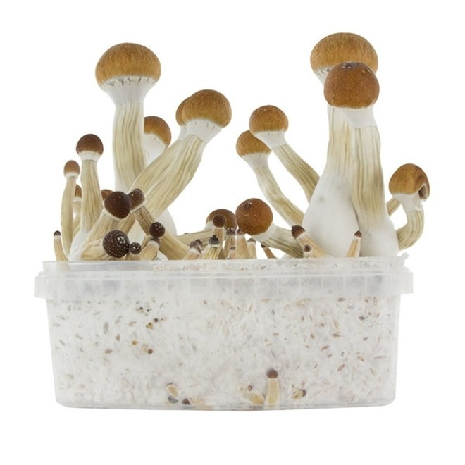 Fresh Mushrooms Grow Kit 'Golden Teacher'