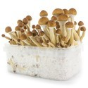 Kit per la Coltivazione Fresh Mushrooms 'Ecuador'