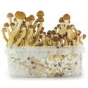 Fresh Mushrooms Grow Kit 'Ecuador'
