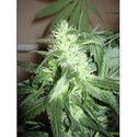 ICE (Nirvana) 2 feminized seeds