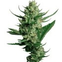 Night Queen (Dutch Passion) feminized