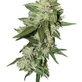 AutoMazar (Dutch Passion) feminized