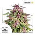 Frisian Dew (Dutch Passion) feminized