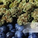 Blueberry (Dutch Passion) feminizsiert