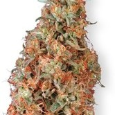 Power Plant (Dutch Passion) feminized