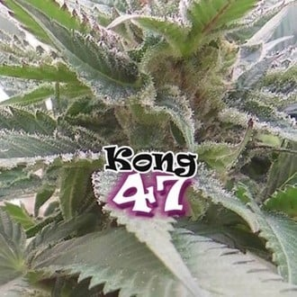 Kong 47 (Dr. Underground) feminized