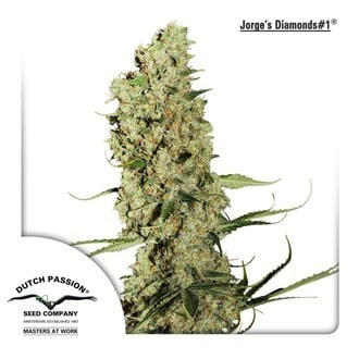 Jorge's Diamonds 1 (Dutch Passion) feminized