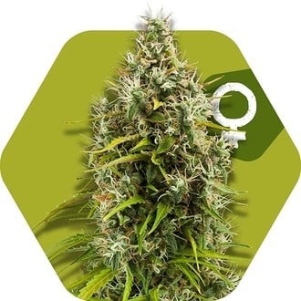 Pineapple Express (Zambeza) feminized