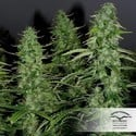 White Widow (Dutch Passion) feminisiert