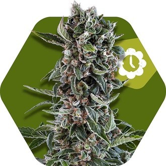 Blueberry Cheese Autoflowering (Zambeza) Femminizzata