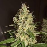 Raspberry Diesel (Humboldt Seeds) Femminizzata
