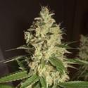 Raspberry Diesel (Humboldt Seeds) feminized