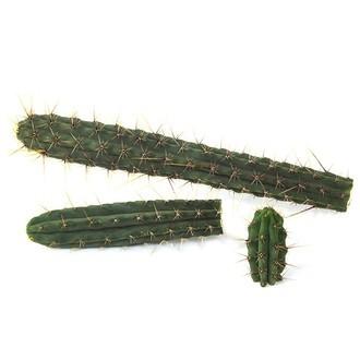 Cuzco (Echinopsis cuzcoensis)