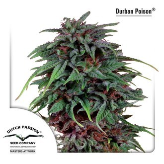Durban Poison (Dutch Passion) femminizzata