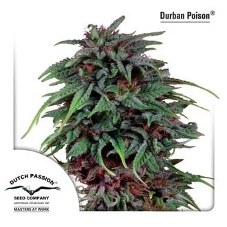 Durban Poison (Dutch Passion) feminisiert